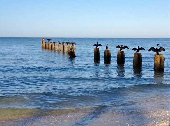 Florida Cormorants