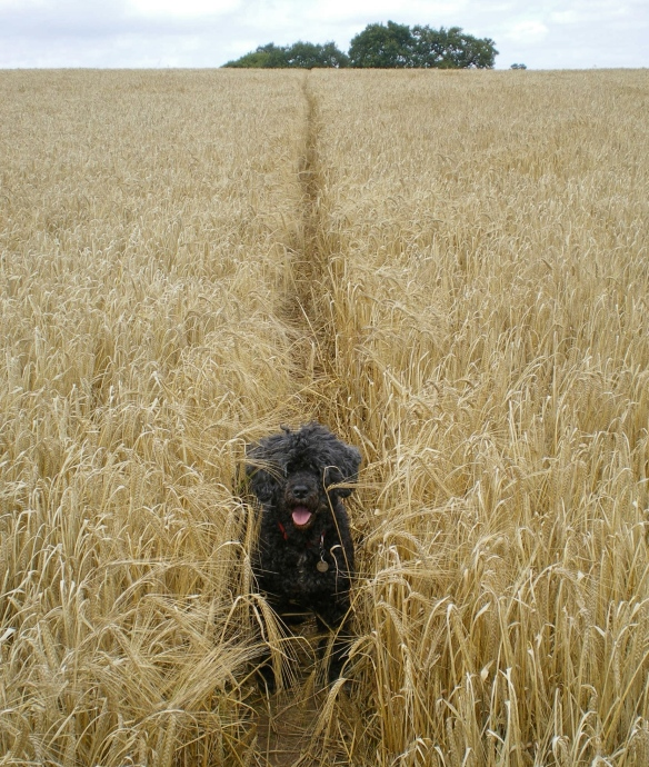 On a Walk In the Barley Fields